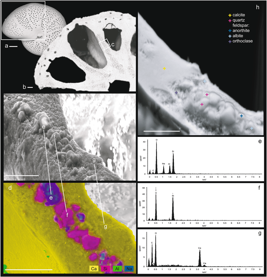 Novel biomineralization strategy in calcareous foraminifera - Borrelli-et-al.-2018b